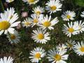shasta_daisy019_1024.jpg