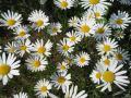 shasta_daisy020_1024.jpg